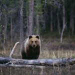 medvjed gbl9